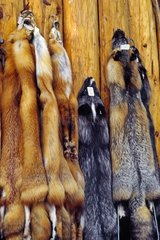 Furs of artic fox sold in an touristic shop in Alaska