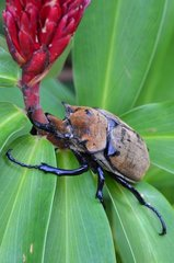 Giant beetle on flower Monkey river Belize