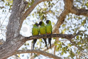 Nanday Parakeets on a branch Pantanal Brazil