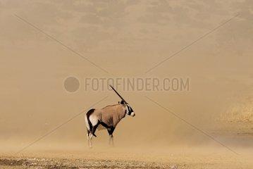 Oryx in a tornado of sandKalahari Kgalagadi South Africa