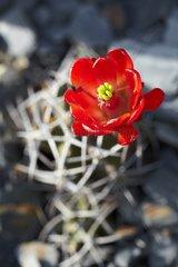 Claret cup cactus in bloom in a garden
