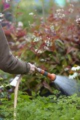 Watering of meadow-rue in a garden