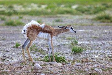 Young Springbok snorting in the rain Etosha NP Namibia