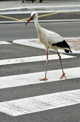 White stork on a pedestrian crossing in Riquewihr France