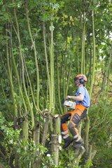 Pruner cutting branches in summer GB