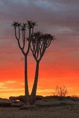 Quiver Tree at sunset Namib Desert Namibia