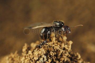 Harvester ants winged Massif des Albères Pyrenees