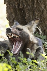 Lycaon yawning at the foot of a tree Kruger RSA