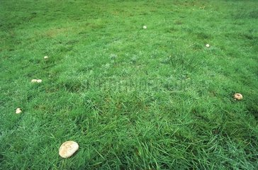 Fairy ring of mushrooms - France