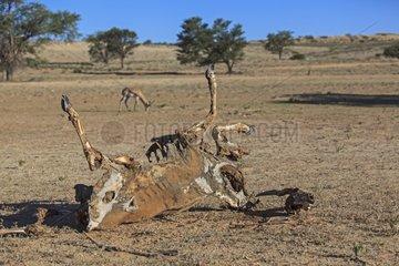 Eland dead of illness in the Kalahari Desert