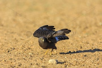 Black harrier on the ground Kalahari desert