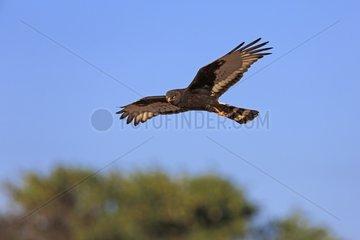Black harrier flying Kalahari desert