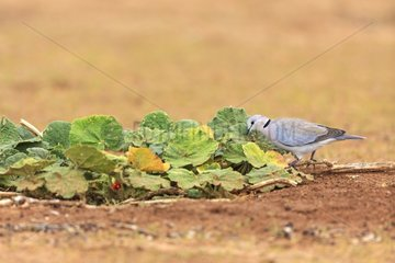 Ring-necked Dove pecking insects in a plant