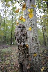 Tawny owl gray phase on a stump France