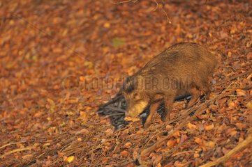 White-lipped peccary on leaves Pantanal Brazil