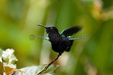 Blue-headed Hummingbird snorting in the rain Dominique