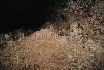 Aardvark out of its burrow at night in South Africa