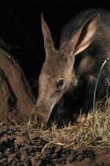 Aardvark near a mound night South Africa
