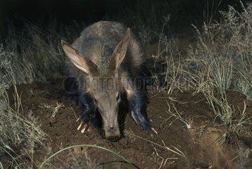 Aardvark strumming Termitière night South Africa