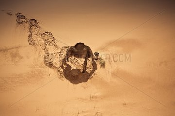 Camel eating in sand dunes South Morocco