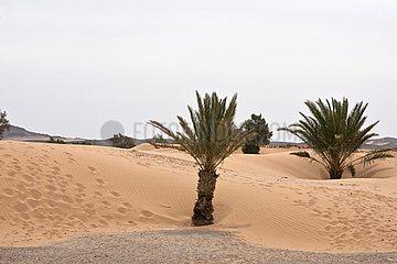 Palm tree in a sand dune Khamlia Morocco