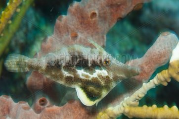 Slender file-fish on the reef island of Barbados