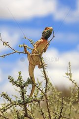 Agame warming on a thorny Kgalagadi South Africa