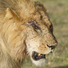 Portrait of Leo injured covered in flies Masai Mara Kenya