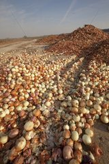 Deposit of onions in the nature Lleida Spain