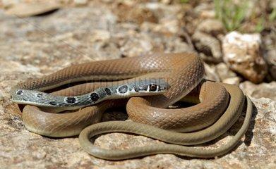 Dahl whip snake on rock Greece