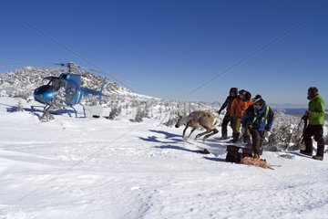 Release of woodland caribou equipped with GPS collar Gaspésie