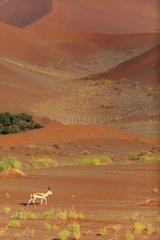 Springbok walking in the dunes of the Namib Desert