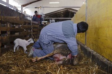 Farrowing of lambs in a sheepfold in Aveyron France