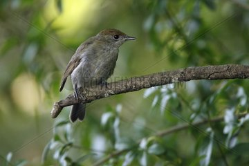 Blackcap female on a branch France