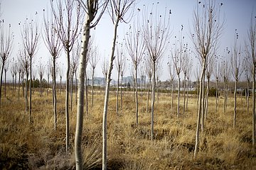 Tree planting to curb desert encroachment China