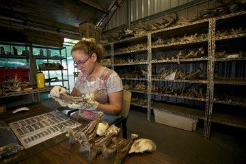 Analysis of deer jaws New Caledonia
