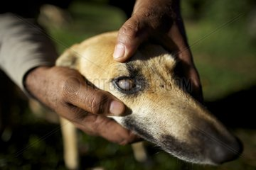 Dog almost blind following of Fire Ants Bite New Caledonia