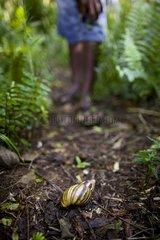 Achatine invasive snail Mare Island New Caledonia