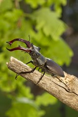 Greater Stag Beetle male on a branch Vaud Suisse