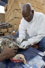 Research on avian influenza in a backyard Mali