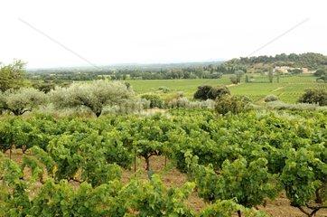 Vineyard and landscape near Beaumes de Venise Vaucluse