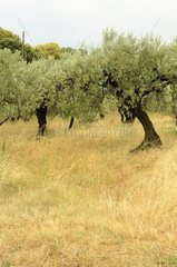 Olive and grasses in Beaumes-de-Venise Vaucluse France