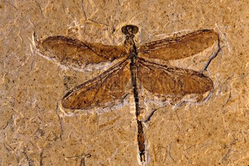 Fossil dragonfly from the Cretaceous