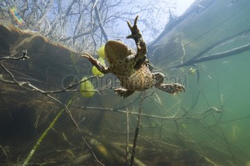 Common toad on the surface of a lake Jura France