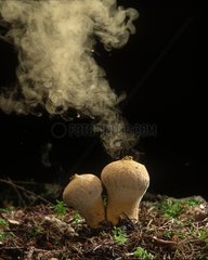 Sporulation of Common Puffball on black background