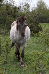 Tarpan horse in meadow Bugey Rhône-Alpes France