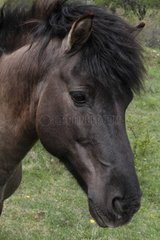 Portrait of Tarpan horse in meadow Bugey Rhône-Alpes France
