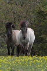Tarpan horses in meadow Bugey Rhône-Alpes France