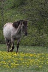 Tarpan horse walking in meadow Bugey Rhône-Alpes France