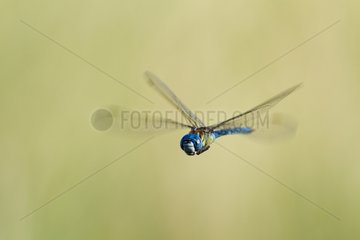 Southern migrant hawker flying France